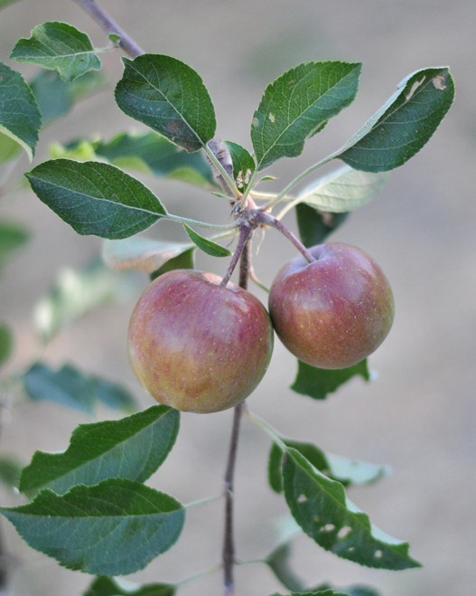 fuji apples on tree