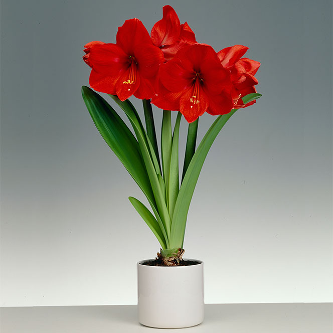 Amaryllis Pflanzen Get The Facts On Poisonous Plants | North Carolina