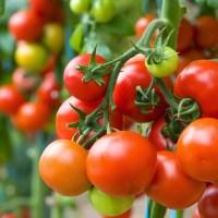#10 Que faire avec des tomates ?