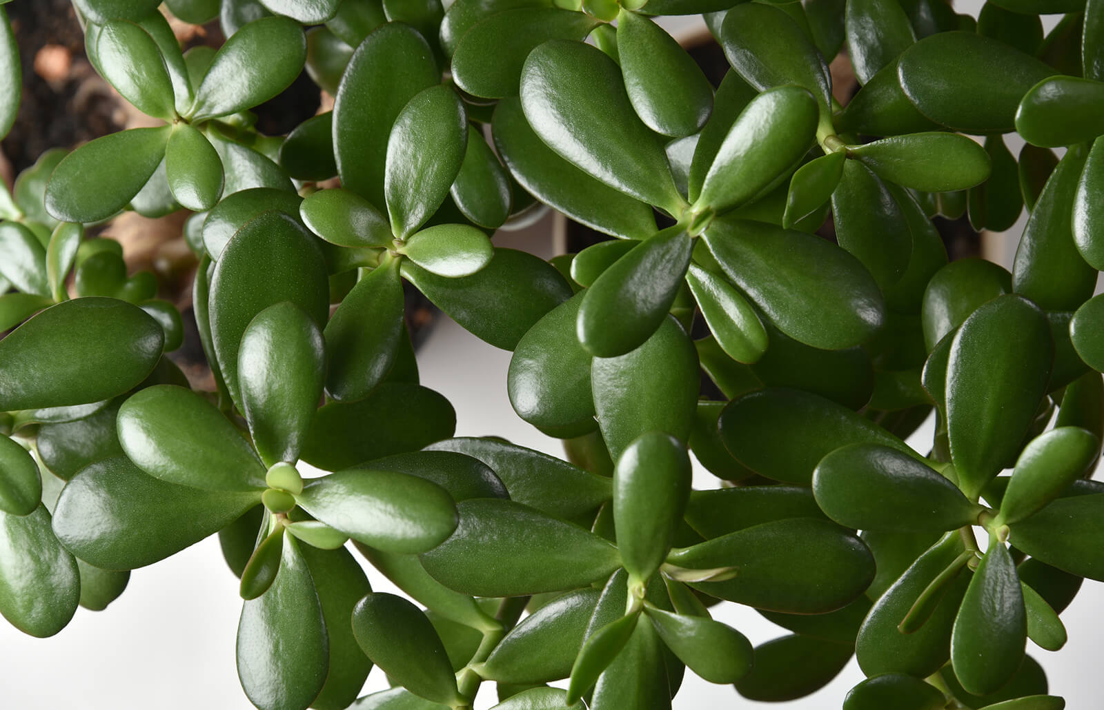 Feng Schui How To Use Jade Plants In Feng Shui Lovetoknow