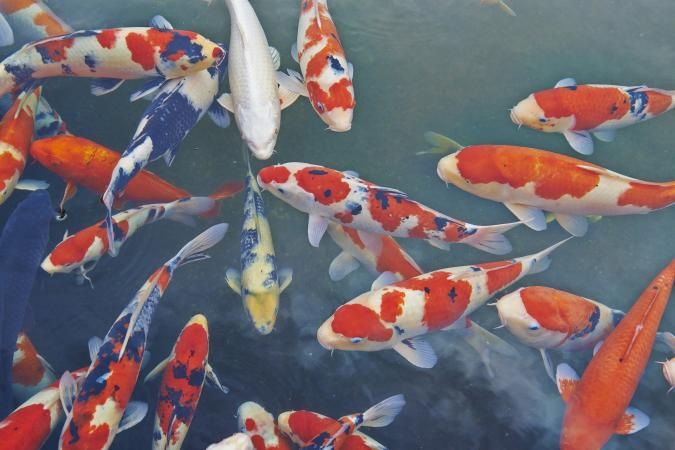 Powerful Quotes Wallpapers What Do Koi Fish Symbolize Lovetoknow