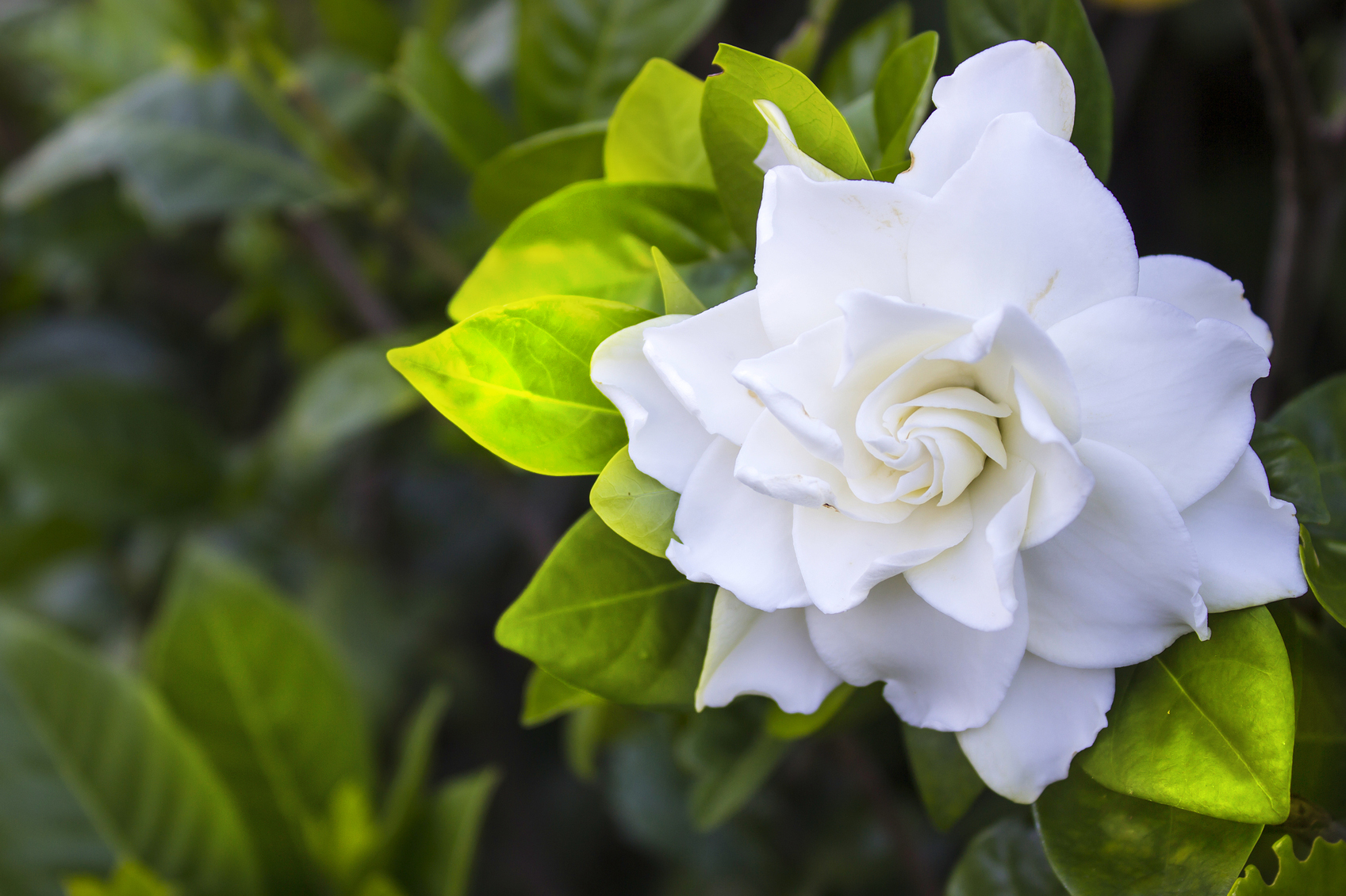 Gardenia Flower Leaf The Meaning Of Your Bouquet's Flowers | Glam & Gowns Blog