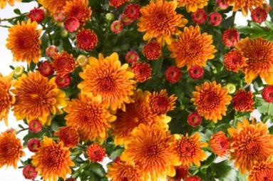 Free Fall Mums Wallpaper Chrysanthemum Lovetoknow