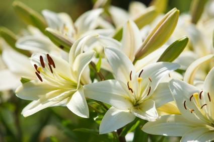 Fall Succulent Wallpaper Lily