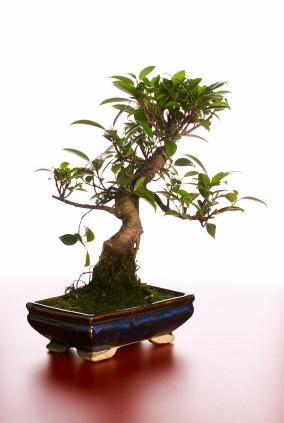 Ficus Tree Care