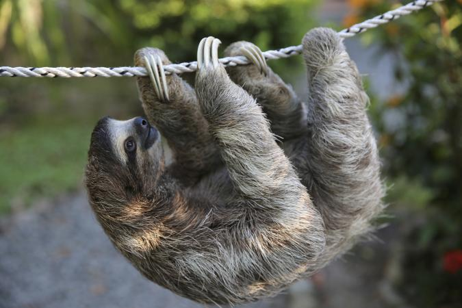 Cute Sloth Wallpaper Are Sloths Good Pets Lovetoknow