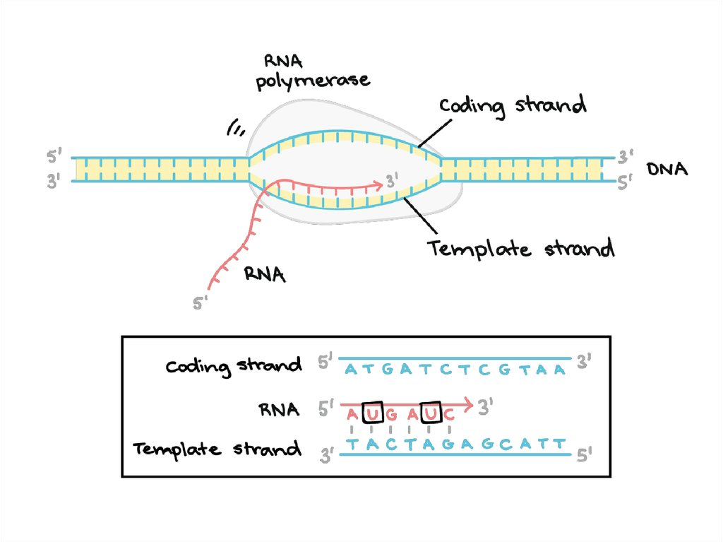 DNA Replication, RNA Structure  Function, and Compare DNA  RNA