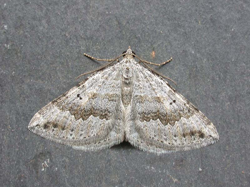 Chalk Carpet Moth Scotopteryx Bipunctaria Cretata