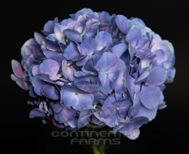 Dark Purple Hydrangea Hydrangea Dark Purple | Continental Farms