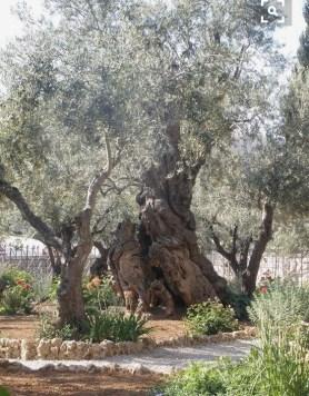 foto-03-oliveiras