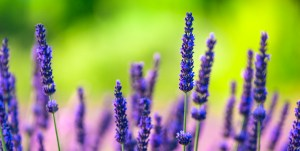 stock-photo-20848676-lavender