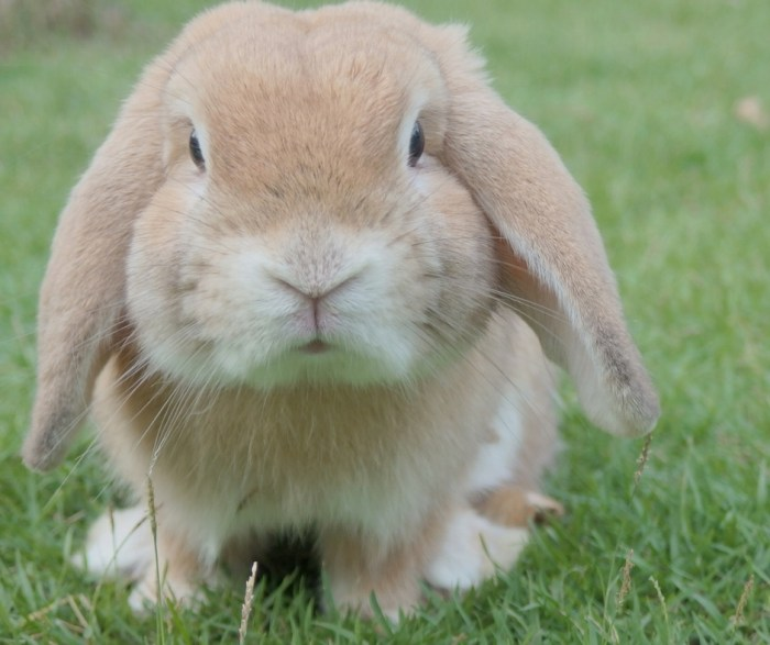 how to litter train rabbits. litter training rabbits