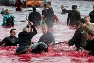 denmark killing dolphins with hooks