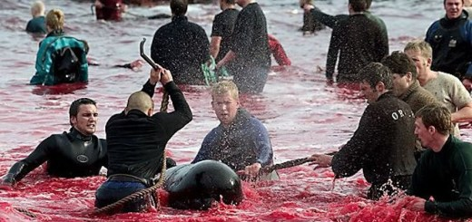 denmark killing dolphins with hooks