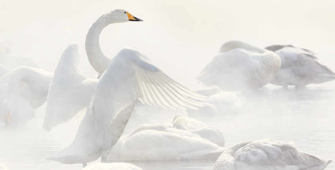 """Angel's Wings"" — A Whooper Swan (pronounced ""hooper swan"") stretches its wings as it rests along the misty shore of Lake Kussharo on the island of Hokkaido, Japan."