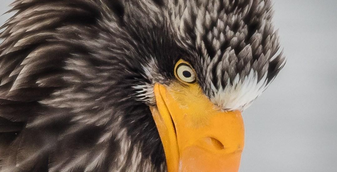 Sea-Eagle-Portrait