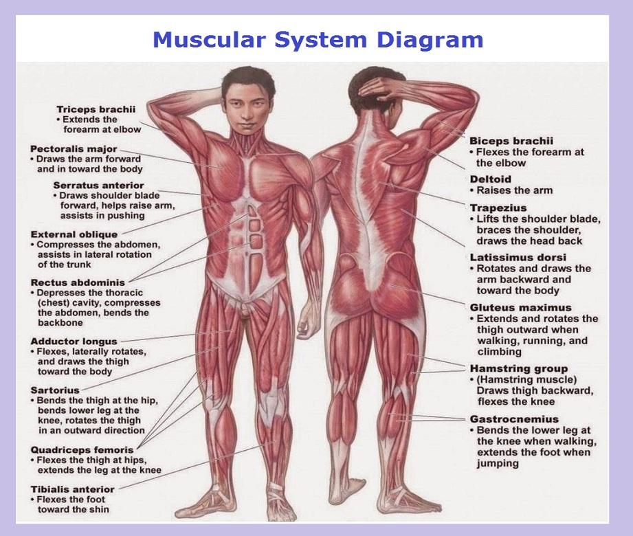 muscles diagram Chart Diagram - Charts, Diagrams, Graphs Best