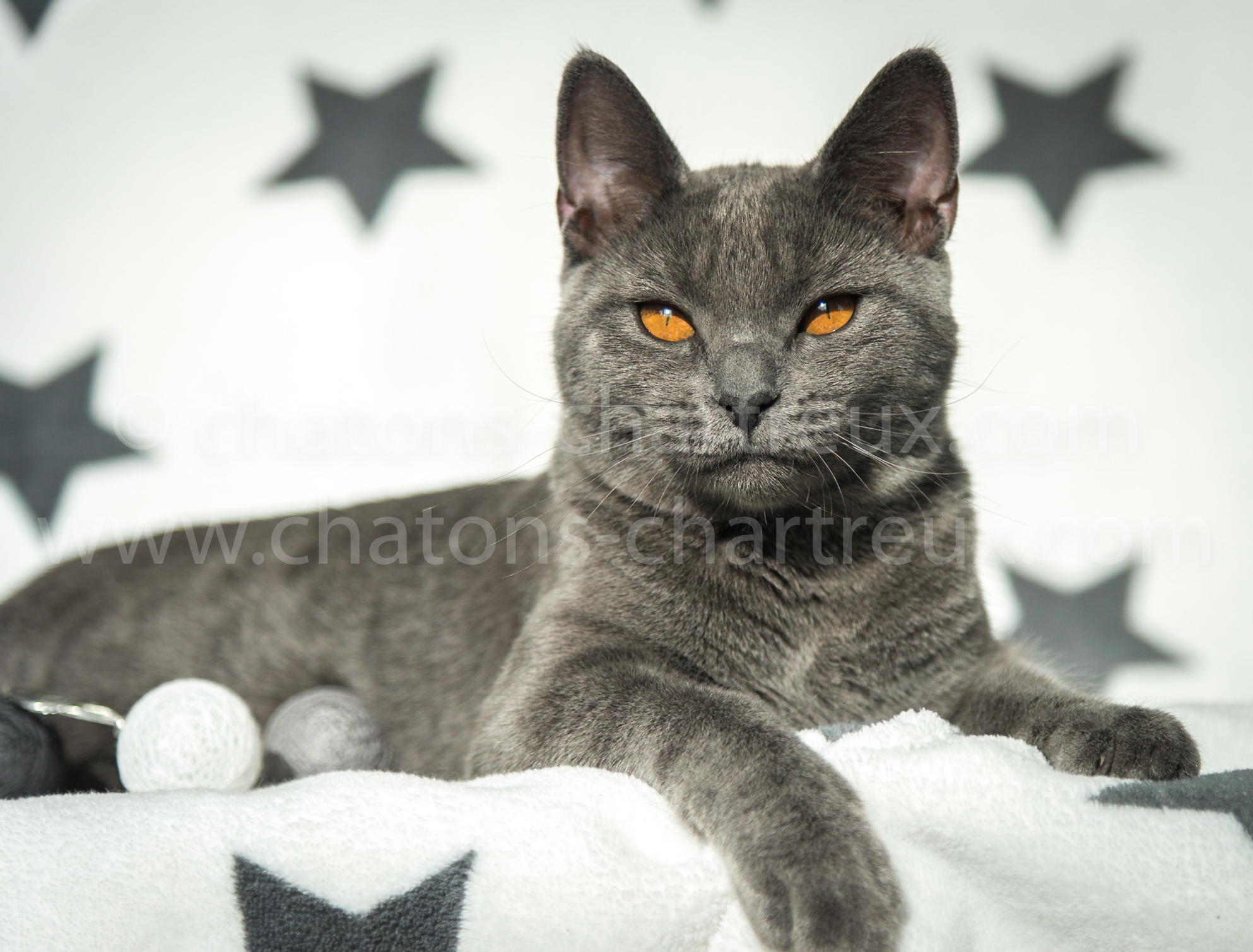 Chartreux Chaton Accueil Chatons Chartreux Com