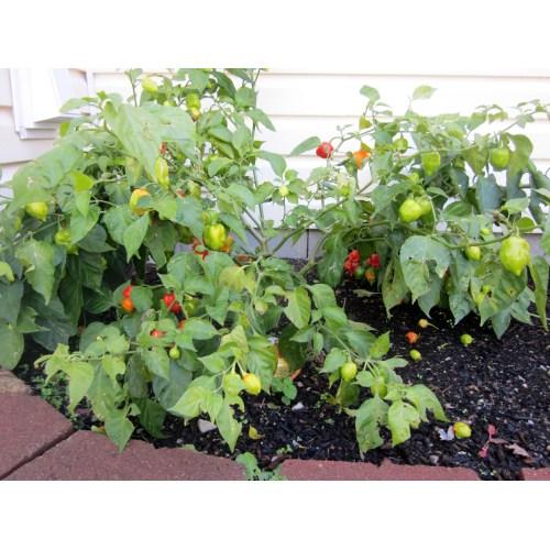 Medium Crop Of Ghost Pepper Plant