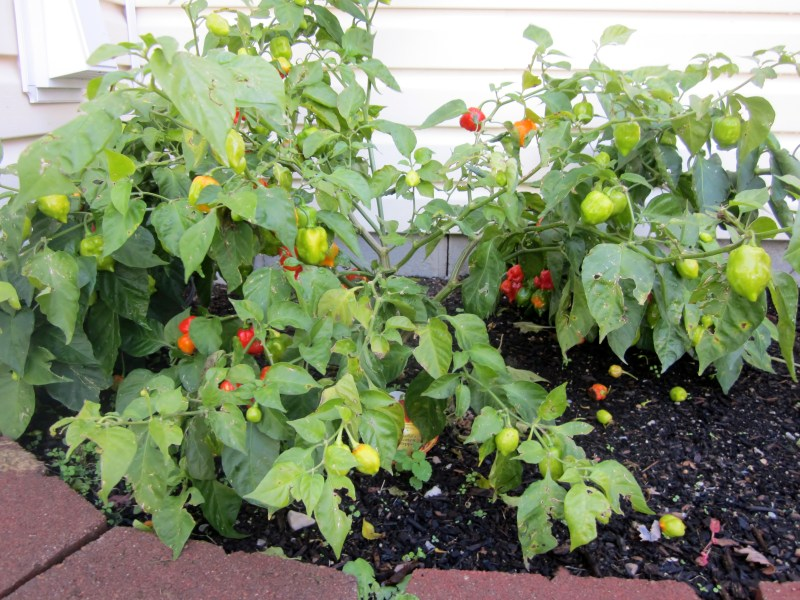 Large Of Ghost Pepper Plant