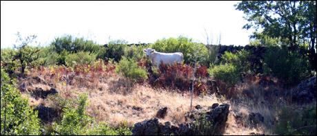 Etna Cow