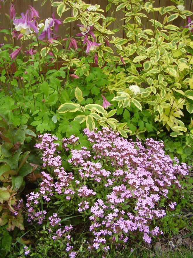 Saponaria and Aquilegia