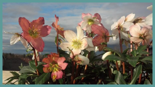 Helleborus niger Gold Collection® Jacob