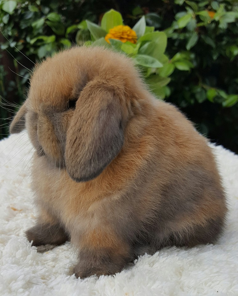 Babies R Us Sale Mini Lop Babies Adults For Sale Cheshire Mini Lops