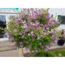 Small Crop Of Dwarf Korean Lilac