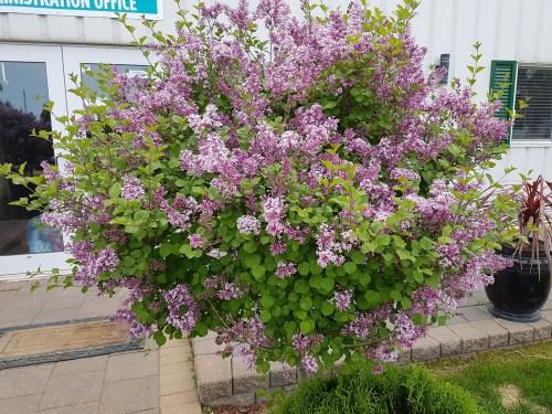 Medium Of Dwarf Korean Lilac