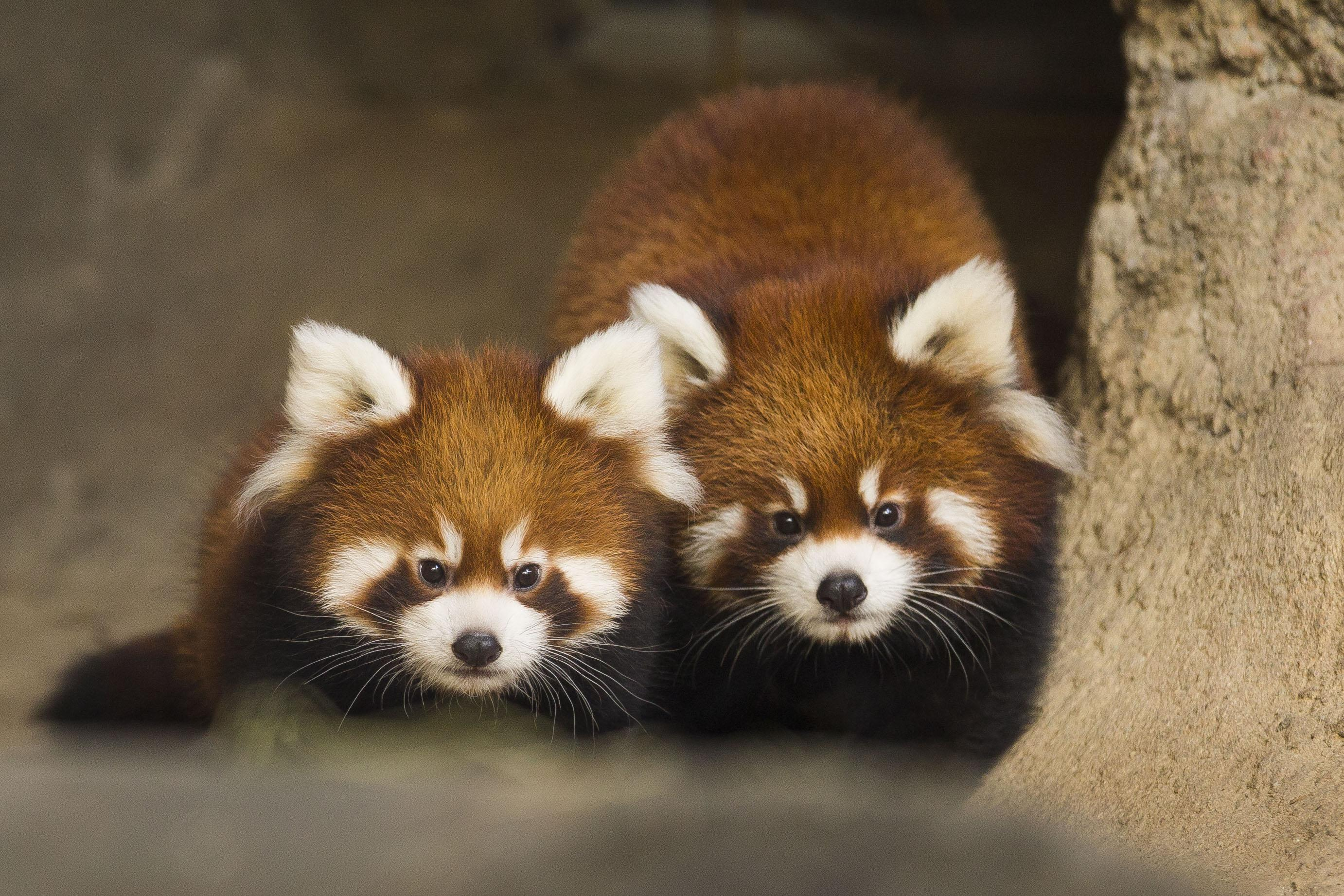 Cute Baby Couple Hd Wallpaper Red Panda Cubs Leaving Lincoln Park Zoo Chicago Tonight