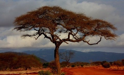 Tree in Tsavo National Park