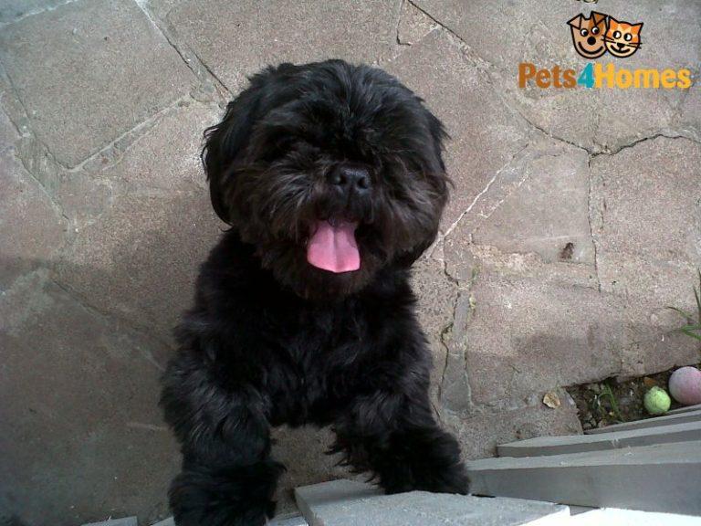 Cute Shih Tzu Puppies Wallpaper Shih Tzu Noir