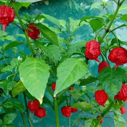 Medium Of Carolina Reaper Plant