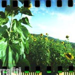 spinner_360_sunflowers_006