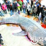 012-Whale-shark-China-Fujian-2009