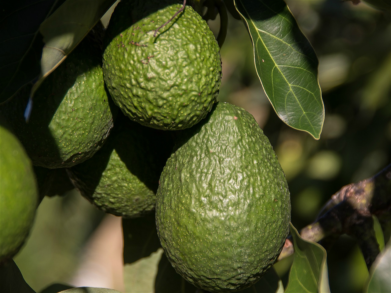 Avocado Boom China S Taste For Avocado Linked To Drought In Latin America