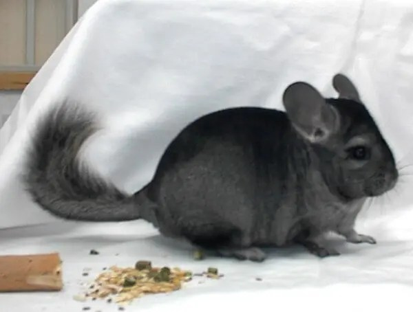 Chinchilla Colors, Classification And Basic Genetics