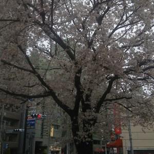 ソメイヨシノとは どんな由来、特徴がある? 開花時期は? ソメイヨシノの里を歩くと