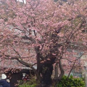 河津桜まつり2020 見頃や開花状況をウォッチ! 河津桜の由来や特徴は? ライトアップも楽しんで