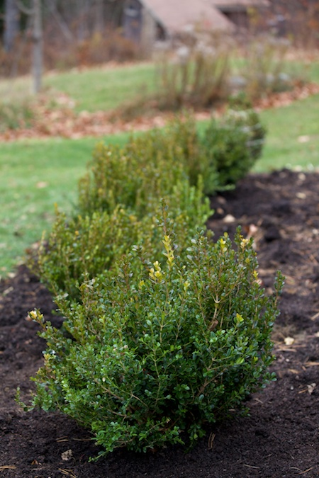 boxwood hedge 2