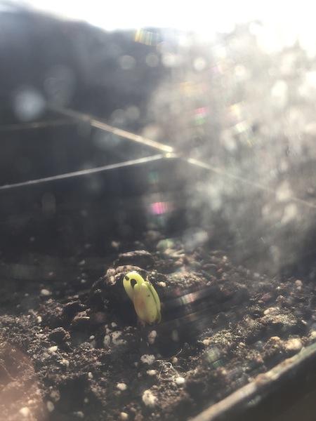 sour cherry seedling