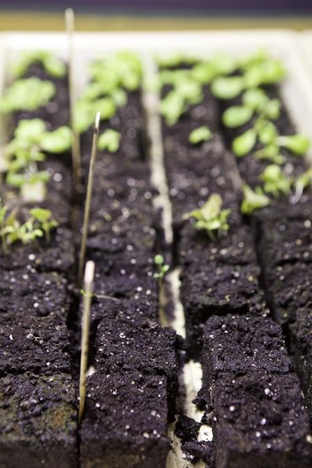 lettuce seedlings 2
