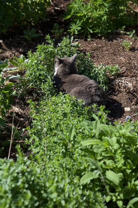 cats in herbs 5