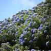 紫陽花(あじさい)が美しい関西の公園・植物園特集!2016年梅雨!
