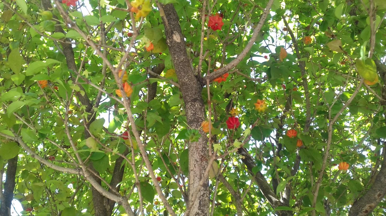 Onde estão as árvores frutíferas da Chácara Klabin?