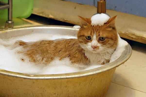 Banho de gato! Você está preparado?