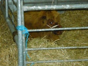 Highland calf at Royal Highland Show in Edinburgh