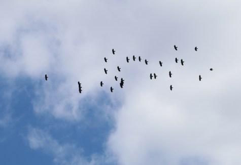 A soaring flock of twenty-nine choughs (Ali Hales)