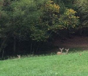 Deer at Warrior's Path State Park Kingsport, Tennessee
